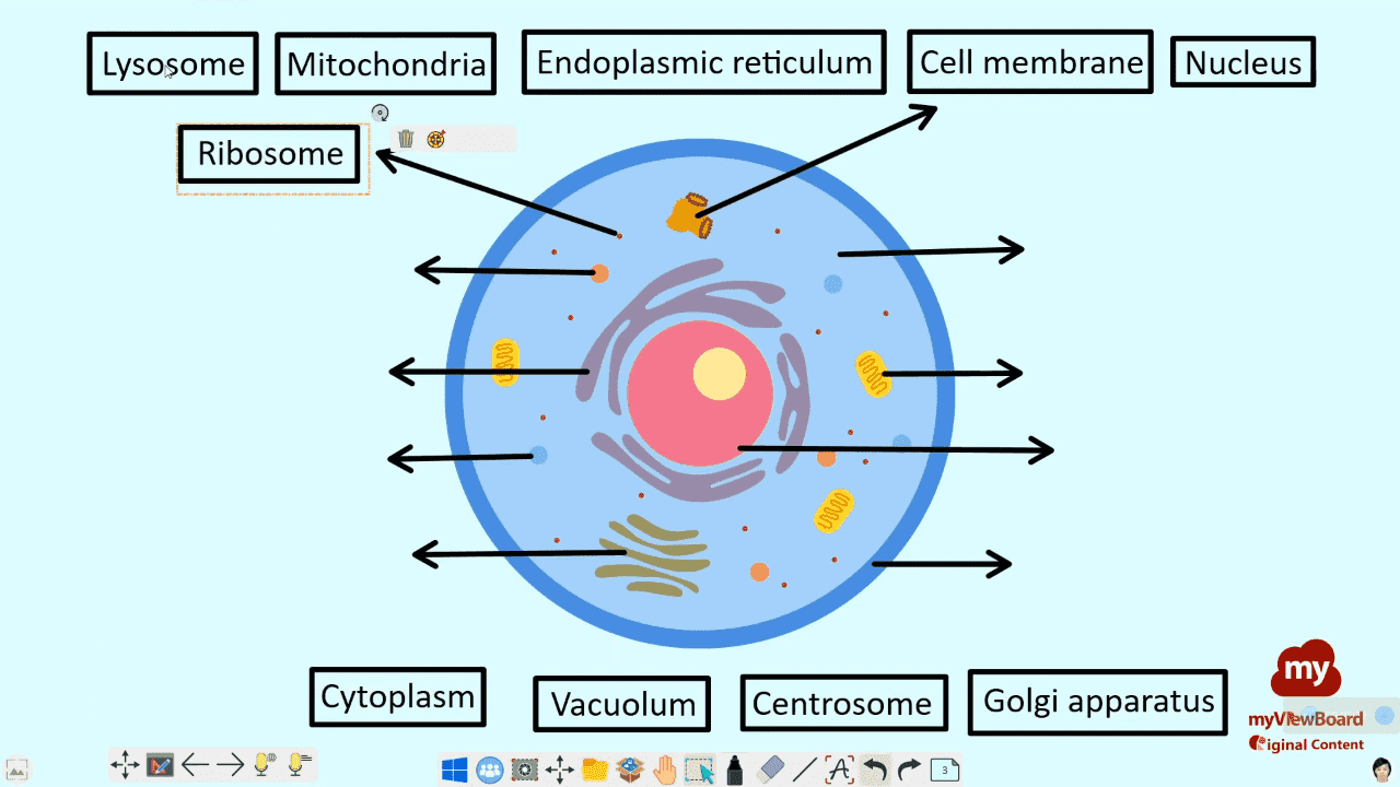 OC thumb cell structure.png